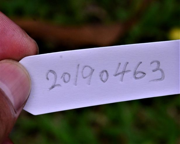 03 Ficus depressa Entrance of Sepilok B&B●20190463★ Shuai LIAO-LSL_3203.JPG