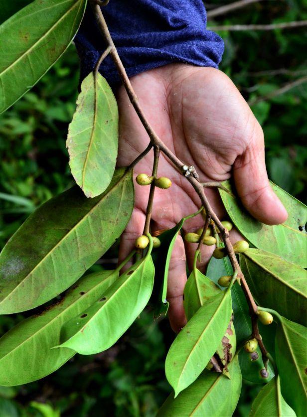 03 Ficus pellucidopunctata Tongod, Segaliud Lokan●20190460★ Shuai LIAO-LSL_3101.JPG