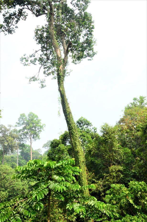 05 Ficus barba-jovis RDC Canopy Walkway●20190451★ Shuai LIAO-LSL_2720.JPG