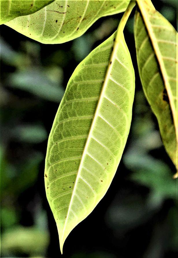 05 Ficus depressa Tongod●20190430★ Shuai LIAO-LSL_1837