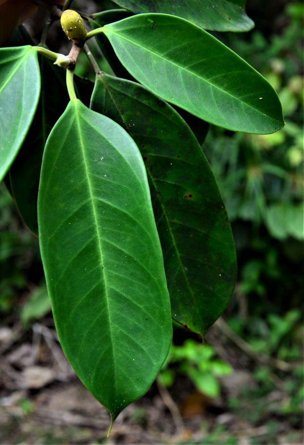 05 Ficus pellucidopunctata Tongod, Segaliud Lokan●20190460★ Shuai LIAO-LSL_3103.JPG