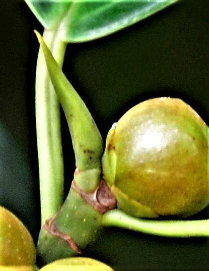 06 Ficus subgedlderi Sepilok B&B●20190462★Shuai LIAO-LSL_3188