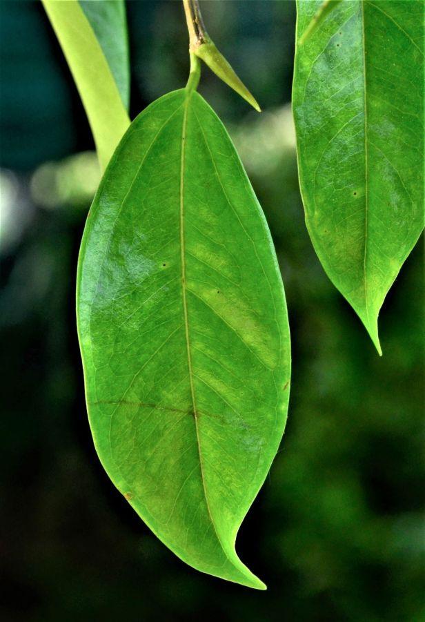 06 Ficus sundaica RDC Jalan Fabia●20190456★ Shuai LIAO-LSL_2980.JPG