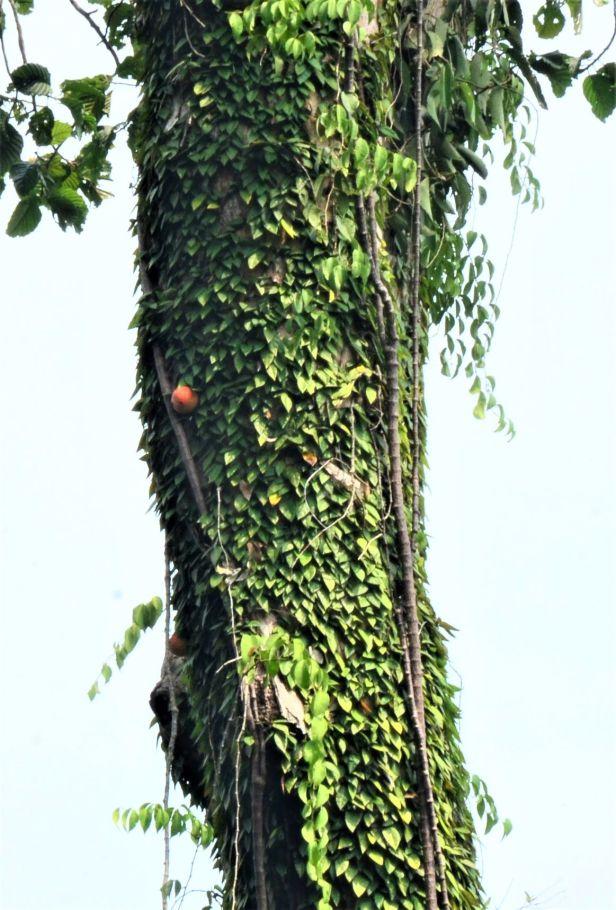 07 Ficus barba-jovis RDC Canopy Walkway●20190451★Shuai LIAO-LSL_2718.JPG