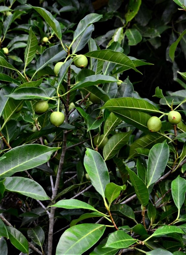 07 Ficus depressa Gunung Tingkar Pinangah FR●20190430★ Shuai LIAO-LSL_1841