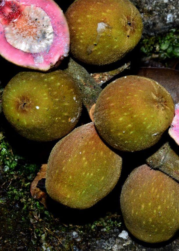 08 Ficus endospermifolia Kinabalu Park HQ ●20190334★ Shuai LIAO-LSL_8373.JPG