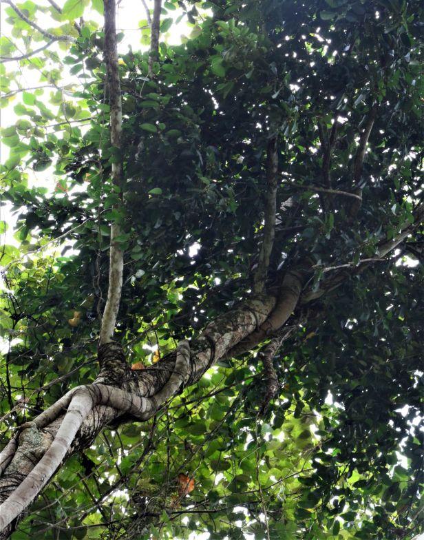 08 Ficus pellucidopunctata Segaliud Lokan●20190460★ Shuai LIAO-LSL_3091.JPG