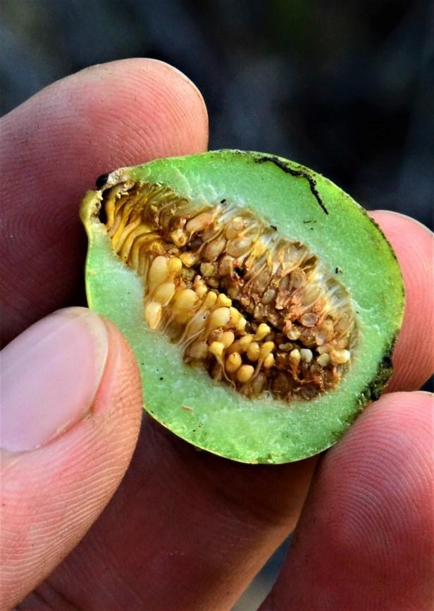 10 Ficus depressa Pinangah FR, Gunung Tingkar ●20190430★ Shuai LIAO-LSL_1847