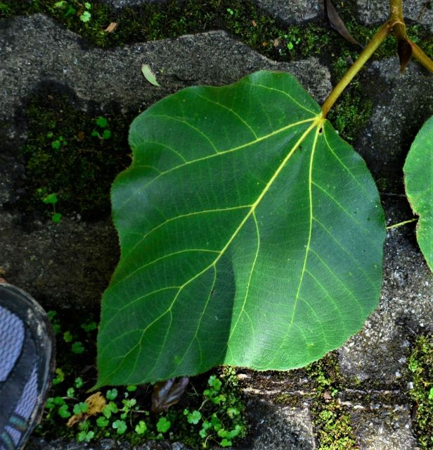 10 Ficus endospermifolia Kinabalu Park●20190334★ Shuai LIAO-LSL_8367.JPG