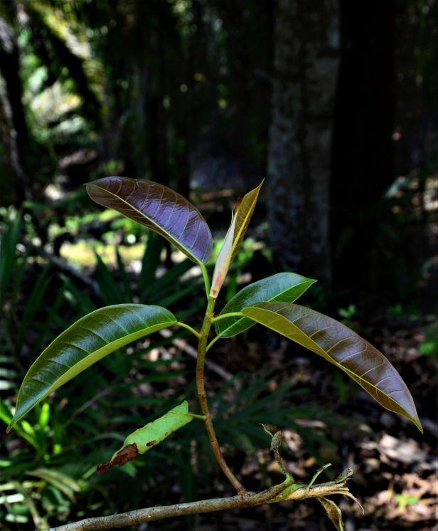 15 Ficus globosa  Tangkulap FR●20190419★Shuai LIAO-LSL_1508.JPG
