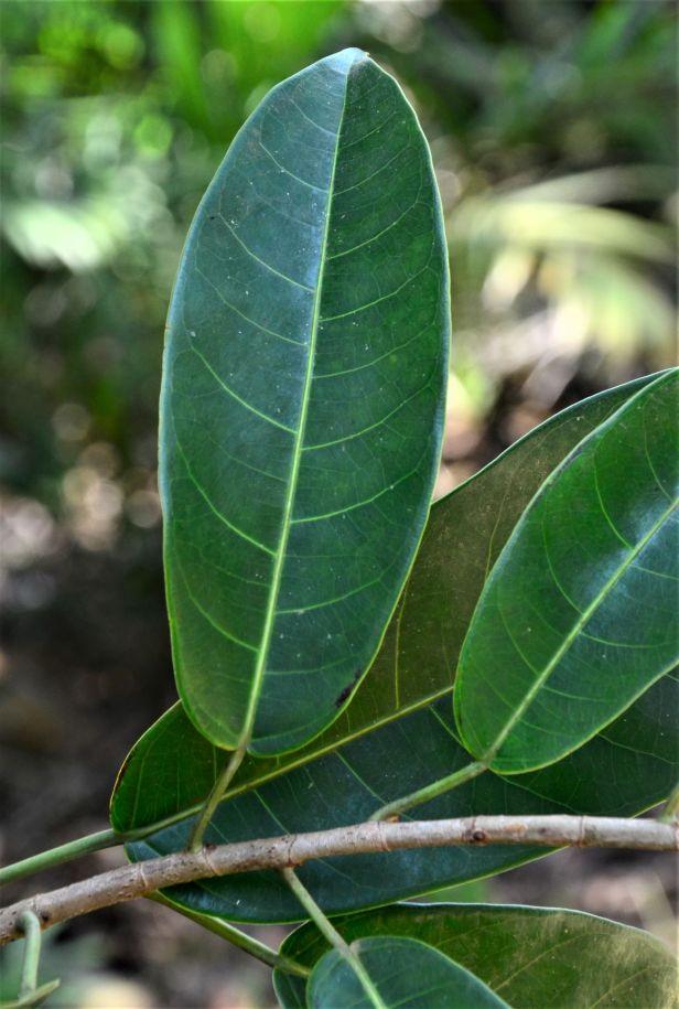 18 Ficus globosa Tangkulap FR●20190419★ Shuai LIAO-LSL_1500.JPG