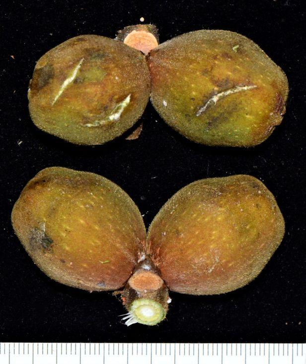Ficus endospermifolia KPHQ●20190334★ Shuai LIAO-LSL_9248.JPG