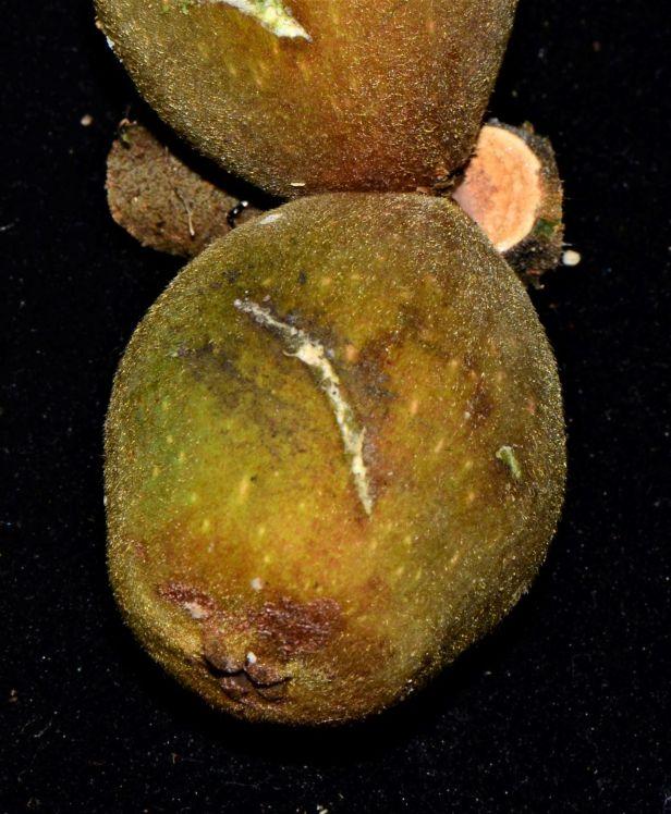 Ficus endospermifolia  Kinabalu ●20190334★ Shuai LIAO-LSL_9250.JPG