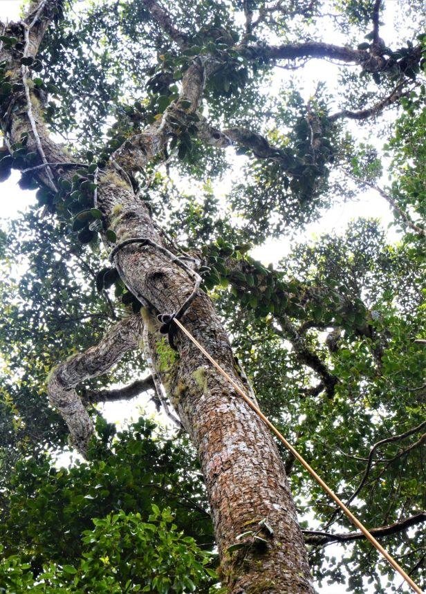 01 Ficus carrii Kinabalu 0190371★Shuai LIAO-LSL_9399.JPG