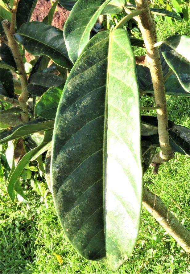 01 Ficus cucurbitina Tabin IMG_8419.JPG