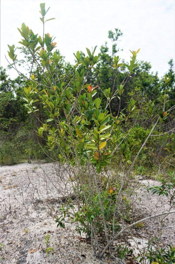 02 Ficus acamptophylla  Pontianak habitat DSC02369.JPG