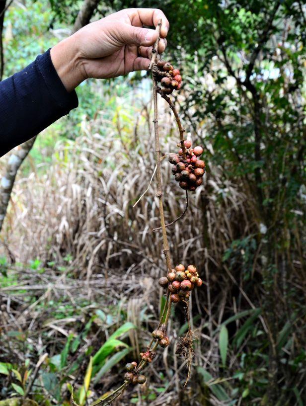 02 Ficus stolonifera Mesilau ●20190369★ Shuai LIAO-LSL_9316
