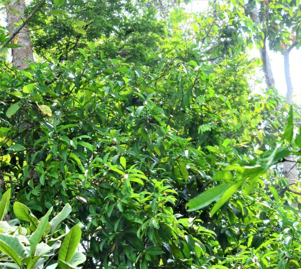 03 Ficus annulata Sepilok FR, Arboretum Office●20190455★ Shuai LIAO-LSL_2921.JPG