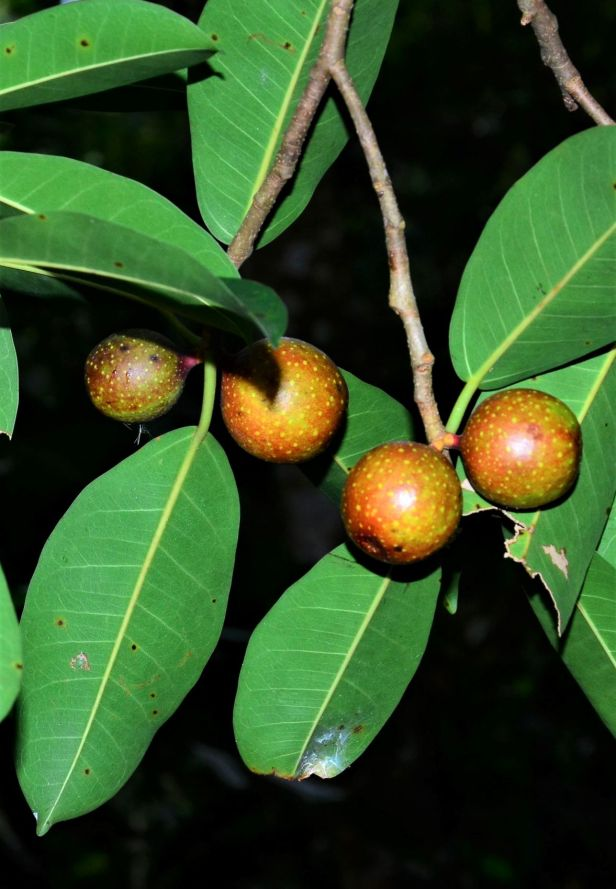 03 Ficus dubia Ulu Kimanis Substation●20190386★ Shuai LIAO-LSL_9937.JPG