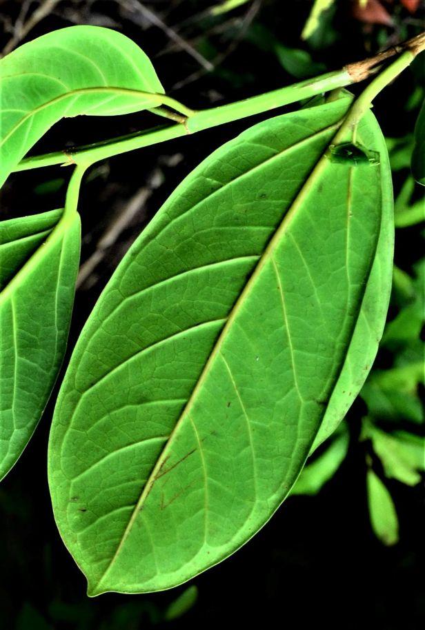 03 Ficus pisocarpa, Tongod, Tangkulap FR●20190410★ Shuai LIAO-LSL_1209.JPG
