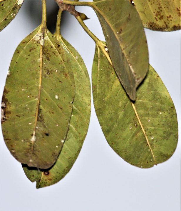 04 Ficus callophylla  Deramakot IMG_2486.JPG