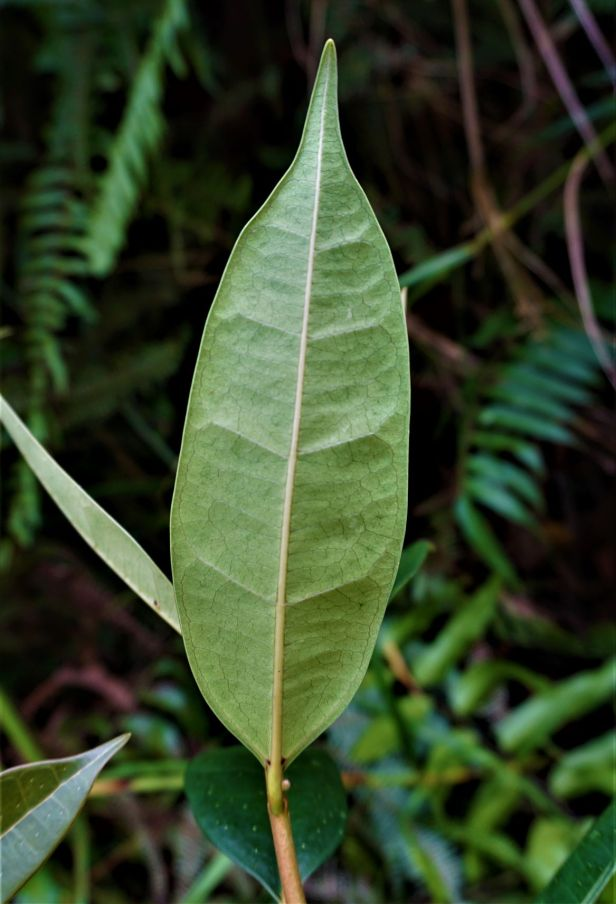04 Ficus oleifolia Ripin Forestry Pontianak DSC02485.JPG