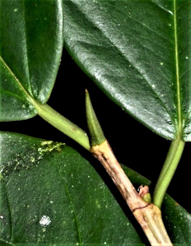 04 Ficus pisocarpa Sukau Rainforest Lodge●20190471★ Shuai LIAO-LSL_3483.JPG