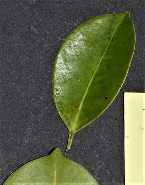 04 Ficus sumatrana Fig 27 Danau Girang 27 Dec. 2016. P7A9737