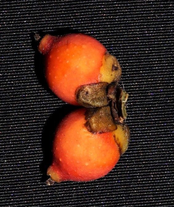 05 Ficus acamtophylla  Pontianak Ripin DSC02663.JPG