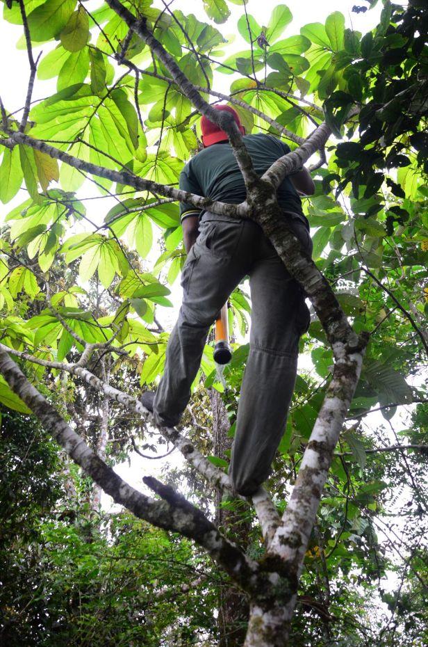 06 Ficus megaleia  Crocker Range Park Ulu Kimanis●20190379★ Shuai LIAO-LSL_9673.JPG