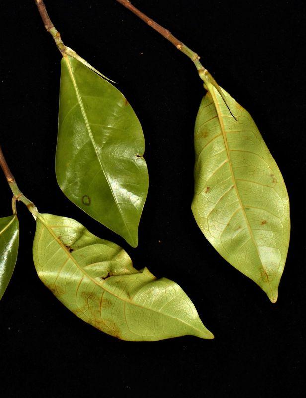 06 Ficus nervosa Tambunan, Beside Jalan Ranau Tambunan●20190402★ Shuai LIAO-LSL_3278.JPG