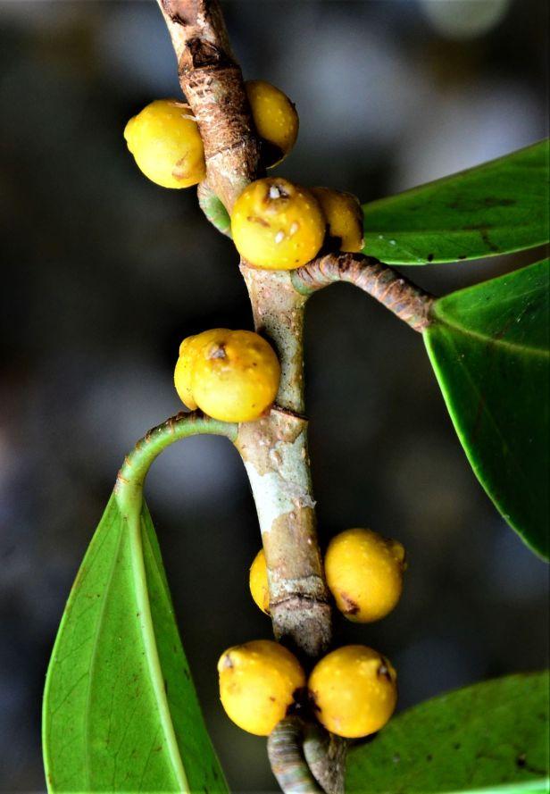 06 Ficus pisocarpa Beluran, Tawai FR, Sg. Meliau●20190431★ Shuai LIAO-LSL_1885.JPG