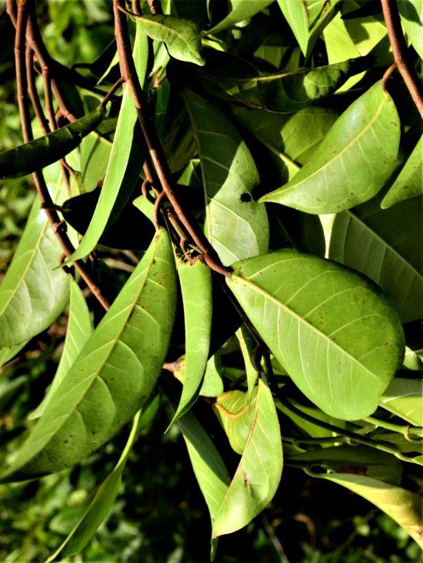07 Ficus nervosa Jalan Ranau Tambunan●20190402★ Shuai LIAO-LSL_0896.JPG