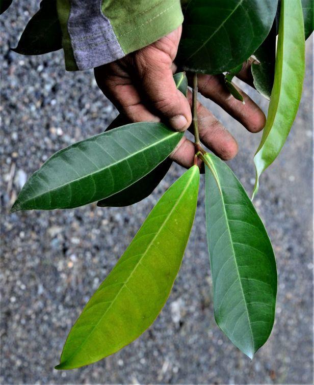 07 Ficus nervosa Tongod, Pinangah FR●20190427★ Shuai LIAO-LSL_1742.JPG