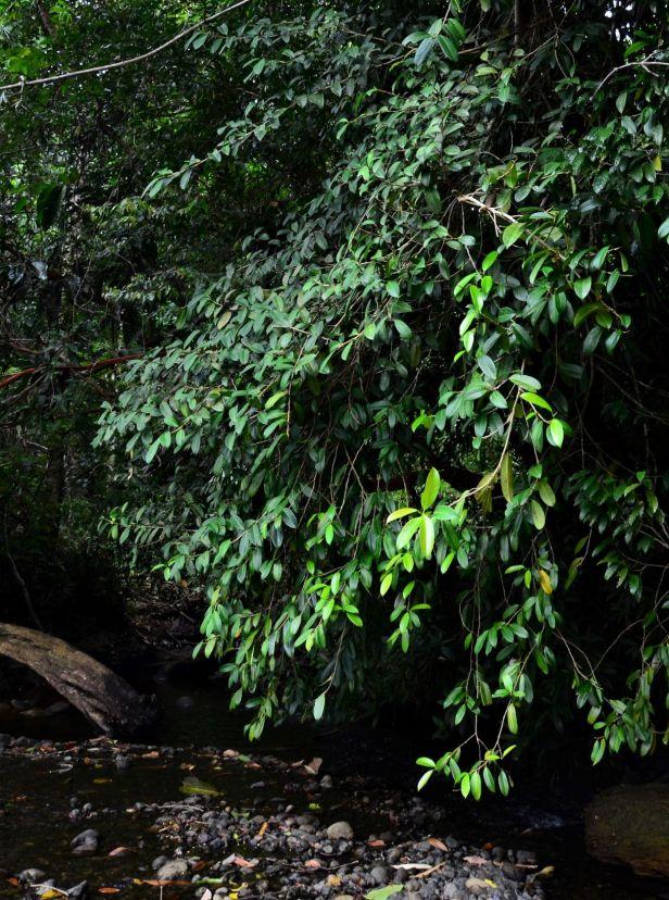07 Ficus pisocarpa Beluran, Tawai FR, Sg. Meliau●20190431★ Shuai LIAO-LSL_1885.JPG