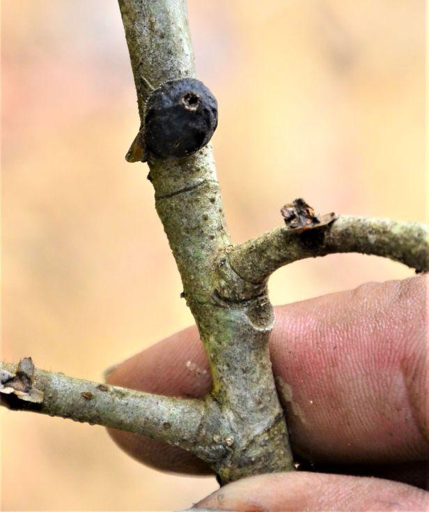 07 Ficus pisocarpa, Tongod, Tangkulap FR●20190410★ Shuai LIAO-LSL_1209.JPG