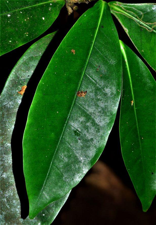 07 Ficus pubinervis★ Orchid Island●20190264★ Shuai LIAO-LSL_7128.JPG