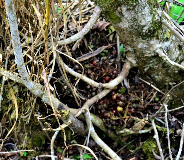 07 Ficus stolonifera Mesilau ●20190369★Shuai LIAO-LSL_9322