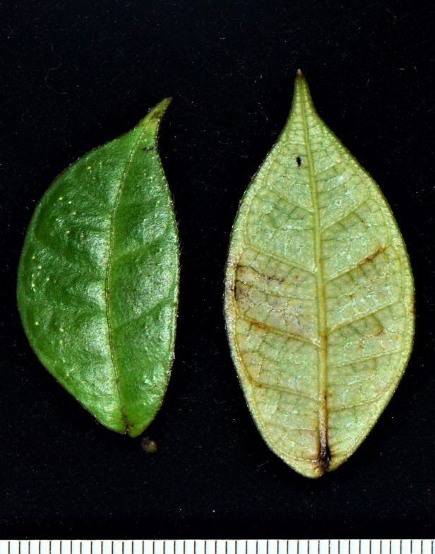 09 Ficus carrii Kinabalu ●20190371★ Shuai LIAO-LSL_2647.JPG