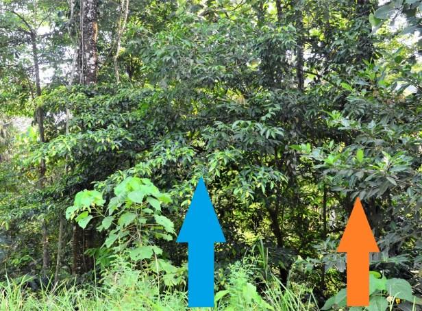 09 Ficus nervosa Tongod, Pinangah FR●20190427★Shuai LIAO-LSL_1746 - Copy.JPG
