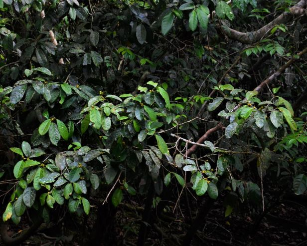 11 Ficus pisocarpa Kg. Sukau, Sg. Menanggol●20190475★Shuai LIAO-IMG_9758