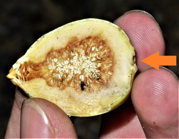 13 Ficus annulata Sepilok FR,  Arboretum Office●20190455★ Shuai LIAO-LSL_2966.JPG