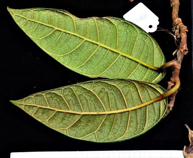 Ficus carri 05 Bukit Burung Trail●20190370★ Shuai LIAO-LSL_9405.JPG