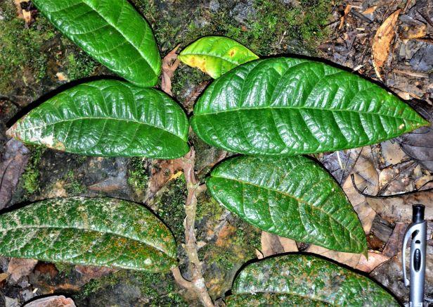 Ficus carrii 08 Bukit Burung Trail●20190370★ Shuai LIAO-LSL_9374.JPG