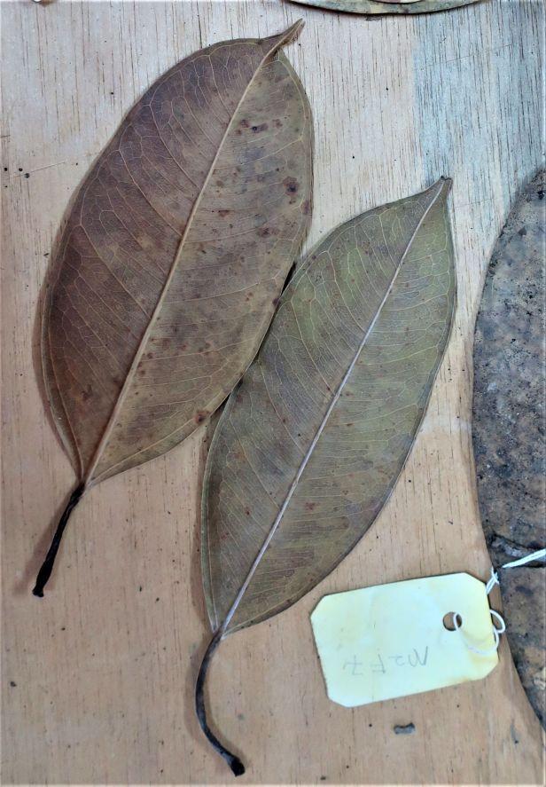 Ficus cornerii Mensalong FR Ranau