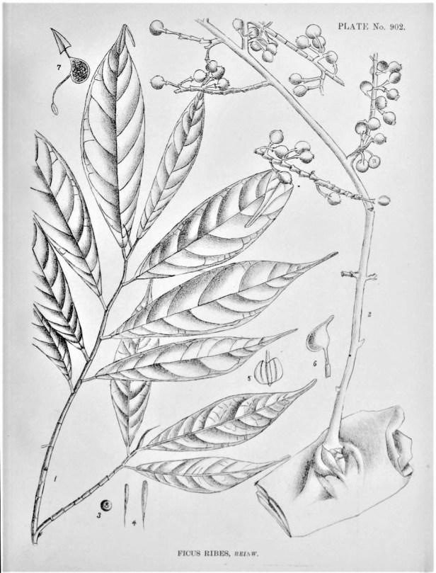 Ficus ribes  Indian Medicial plants.jpg