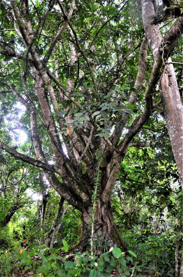 01 Ficus forstenii Ranau Kg. Luanti Baru, ●20190406★ Shuai LIAO-LSL_0966.JPG