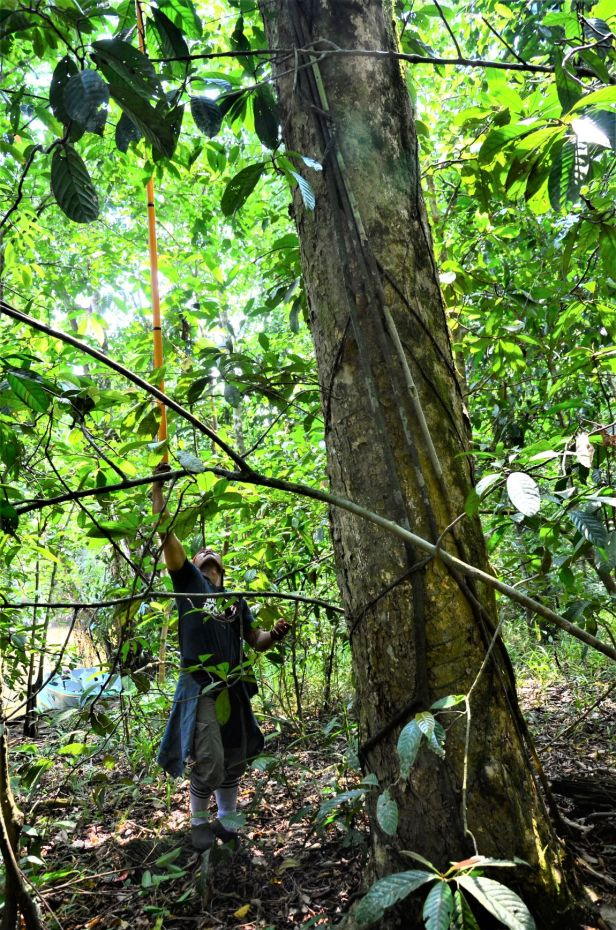 01 Ficus pellucidopunctata Sg. Menanggol●20190472★ Shuai LIAO-LSL_3530.JPG