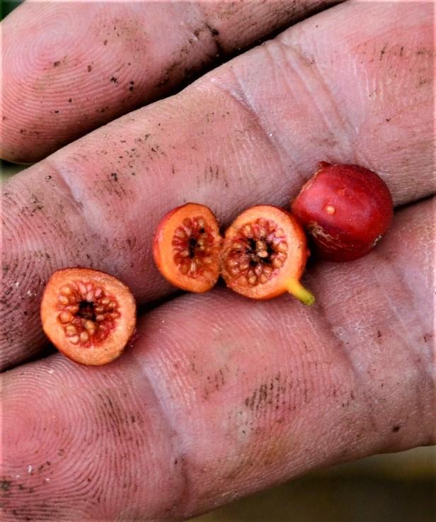 01 Ficus subulata Tongod, Kg. Semundoh●20190422★ Shuai LIAO-LSL_1624.JPG