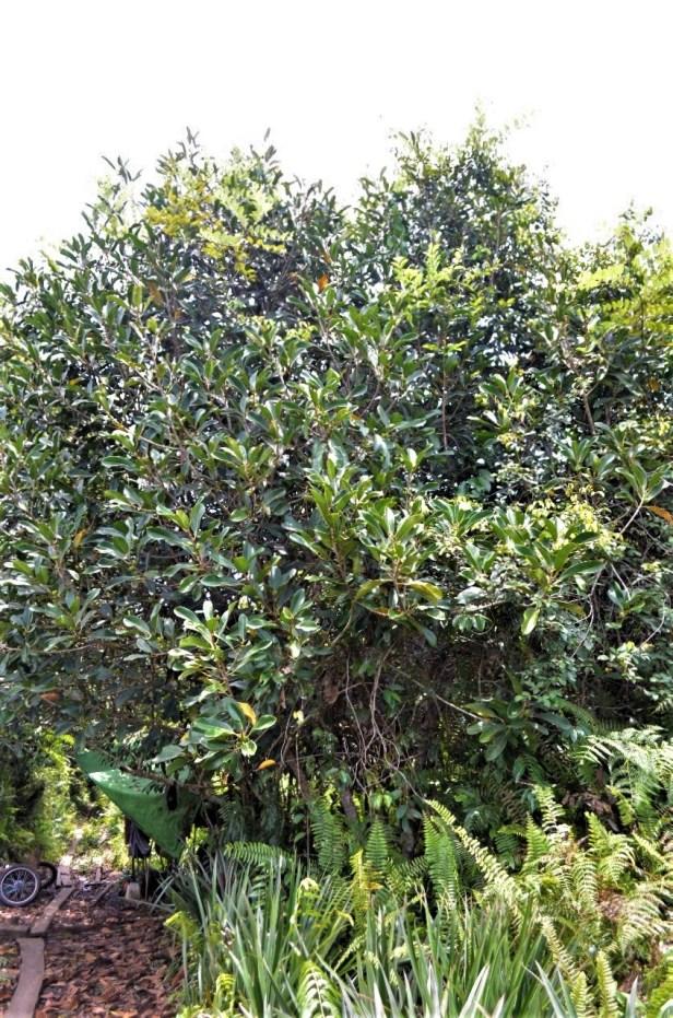 01 Ficus xylophylla Pontianak (7).jpg